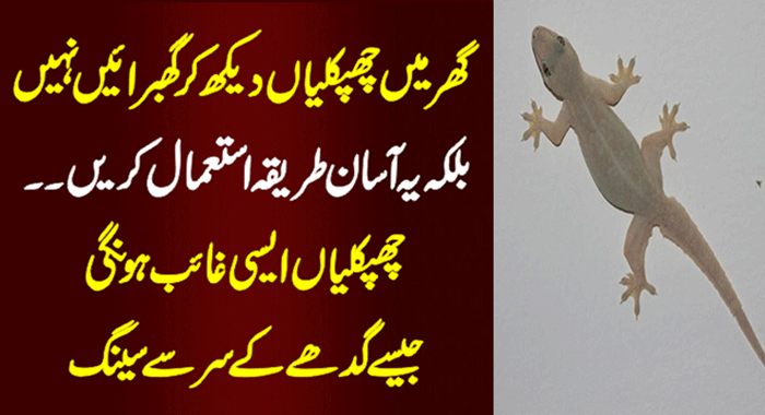 Get Rid of House Lizards (Chipkali)
